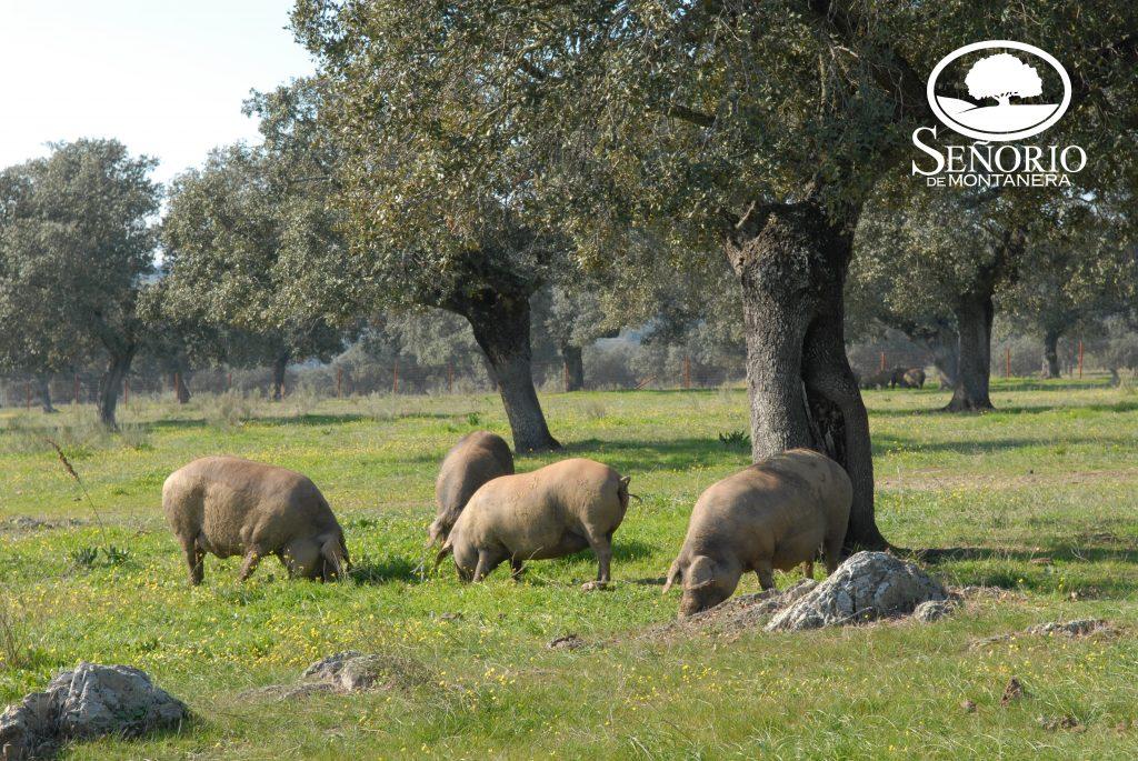 Cerdos ibericos en libertad por la dehesa de Extremadura
