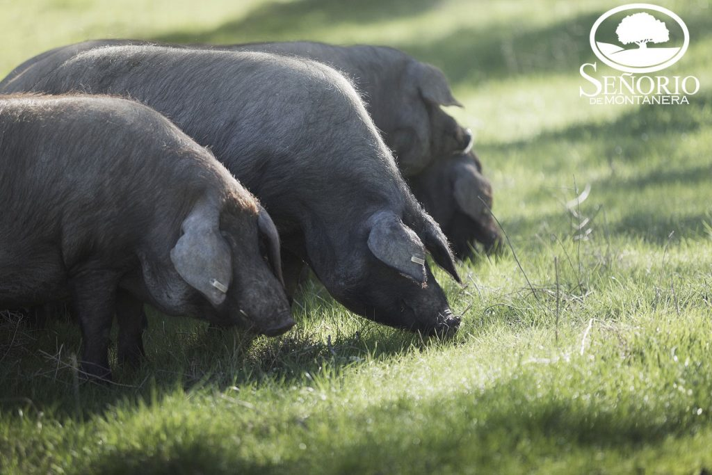 Cerdo ibérico Extremadura