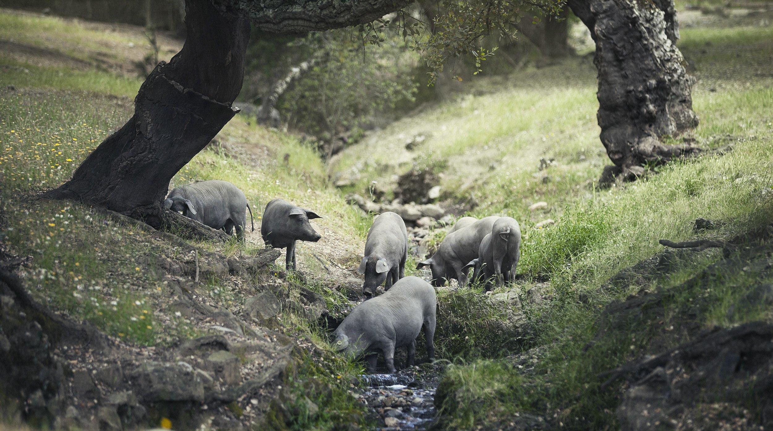 Cerdo Ibérico en montanera