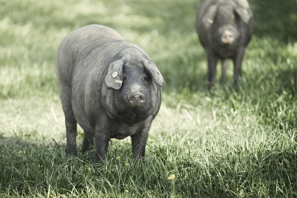 Cerdo Ibérico de Bellota Señorío de Montanera