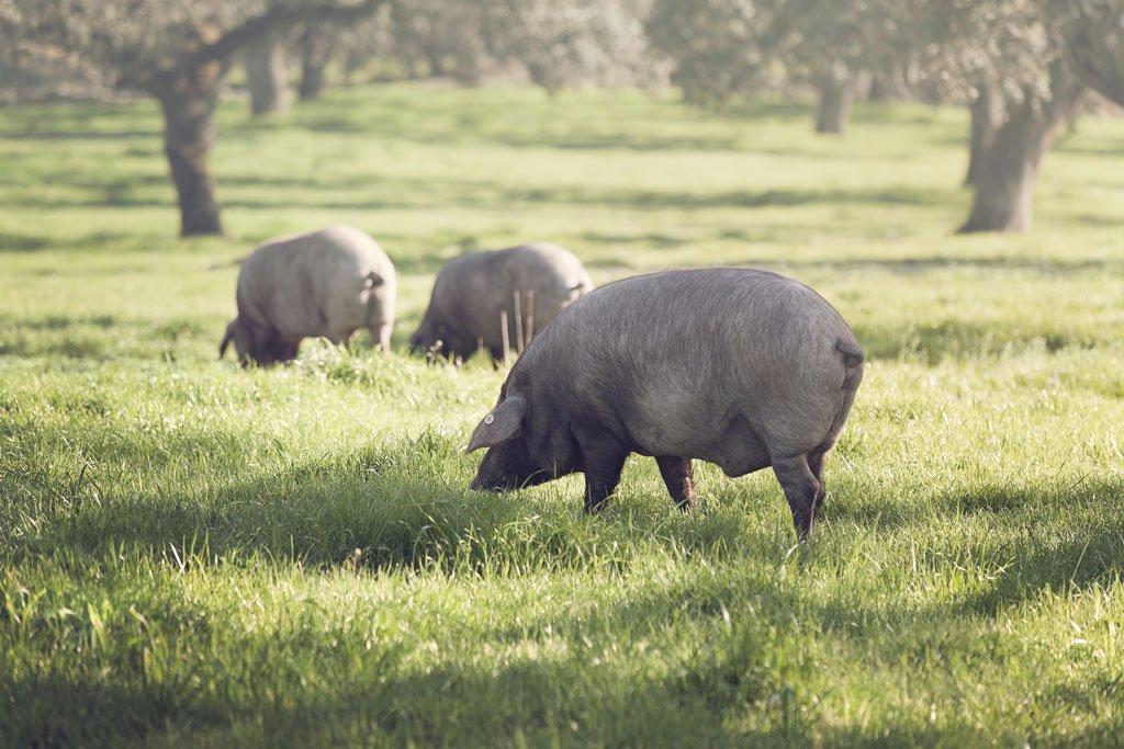 Cerdo ibérico ecológico