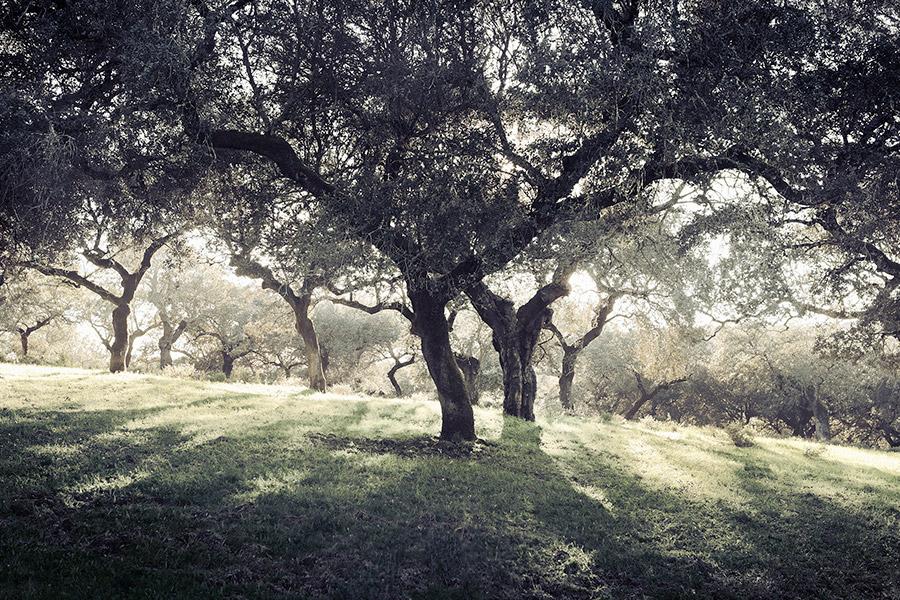 Qué factores favorecen una buena montanera en la dehesa de Extremadura