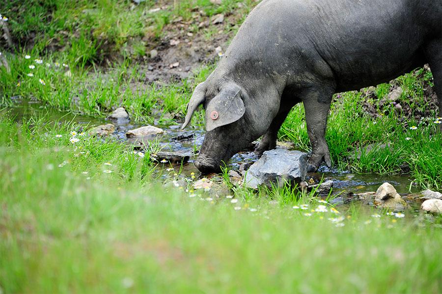 cerdos de raza iberica