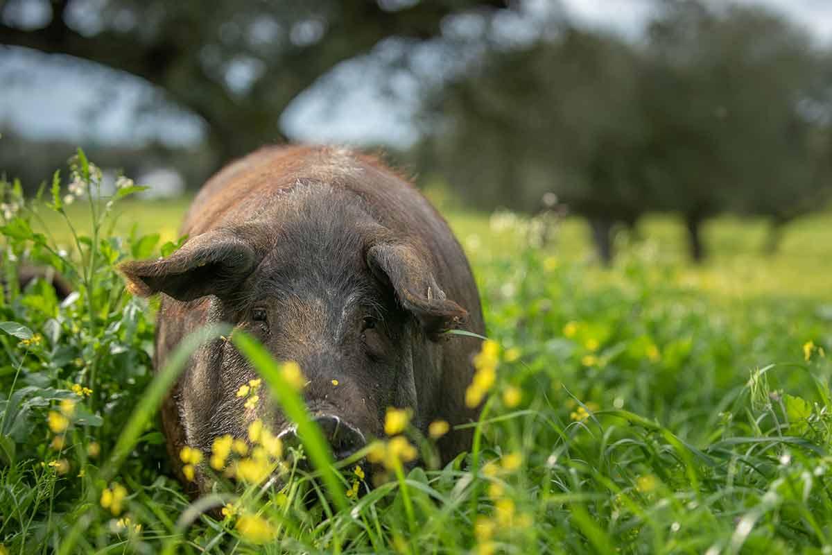 jamon-iberico-puro-cerdos-dehesa-3