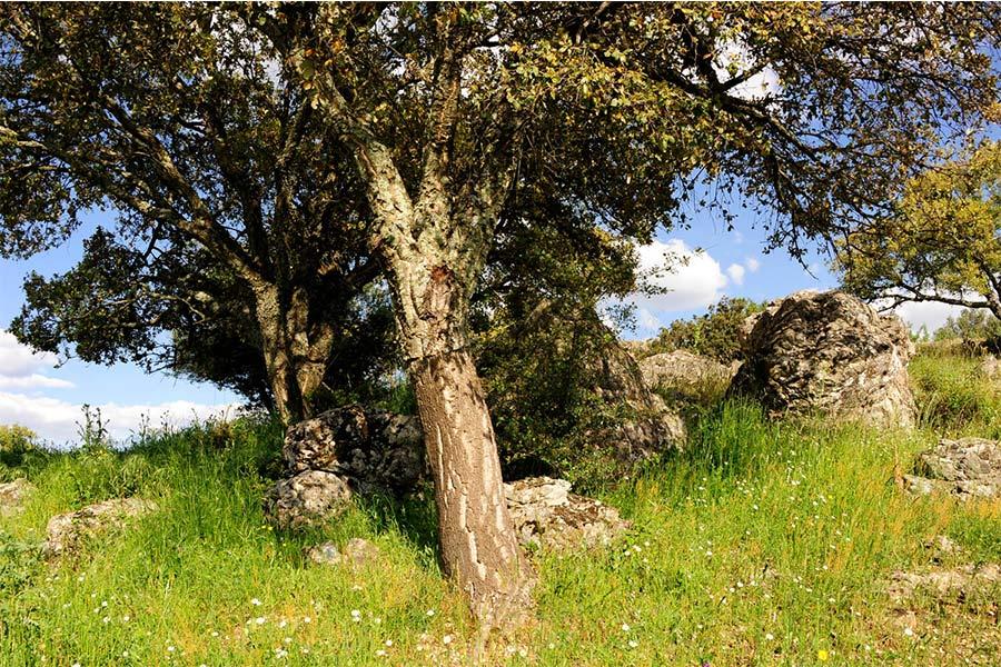 Cuándo-se-extrae-el-corcho-en-la-dehesa-de-Extremadura